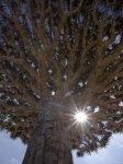 ym01002dragonblood-tree-homil-plateau-socotra-island-yemen-posters