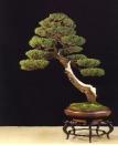 Cupressus Italicis - Luigi Maggioni (Italia)