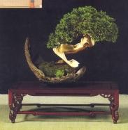 MELHOR APRESENTAÇÃO - Juniperus sabina - Manuel Diaz Hernandez (Espanha)