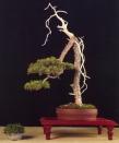 Pinus sylvestris - Jesús valero Belmonte (Espanha)