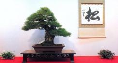 Pinus thumbergii - 75cm (premiado no 75˚Kokufu Ten)