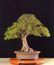 Ulmus parvifolia - Valter Vaz (Portugal)