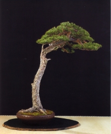 Pinus sylvestris - David Benavente (Espanha)