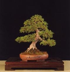 Rhododendron indicum - Miguel Ángel Pérez (Espanha)