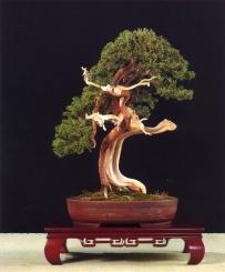 Juniperus Sabina - ramón Pineda Polo (Espanha)