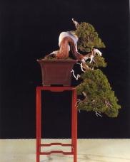 Juniperus Sabina - Xavier Massanet Xicola (Espanha)