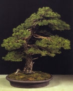 Pinus sylvestris - Gabriel Romero Aguade