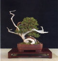 Juniperus phoenica - José Luis Blasco Paz (Espanha)