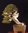 1˚Melhor bonsai - Premio Olea / Juniperus sabina (Xavier Massanet Xicola)