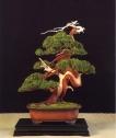 Juniperis chinensis - Pep Ferrer Odena (Espanha)
