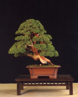 Juniperus chinensis - Gabriel Romero Aguade (Espanha)