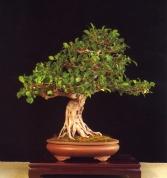 Ficus retusa - Carmen Lozoya Garcia (Espanha)