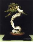 MELHOR BONSAI - 2˚prêmio. Olea europeana var. sylvestris Carlos Huerta Huerta (Espanha)