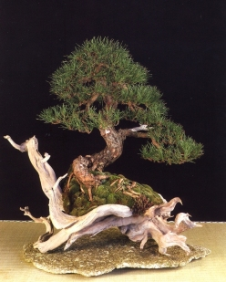 3˚LUGAR - melhor bonsai Pinus sylvestris François Gau (França)
