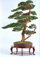 Juniperus chinensis (83cm)