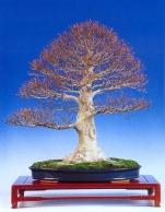 Fagus crenata (75cm)