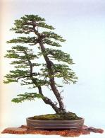 Picea jezonensis (83cm)