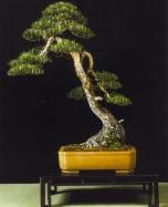 Pinus sylvestris - David Benavent (Espanha)