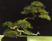 Pinus Sylvestris - Antoni Passarrodona Isern (Espanha)