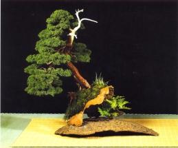 Juniperus chinensis - Jaume Canals Sempere (Espanha)