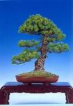 Pinus pentaphulla (47cm)