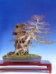 Acer burgearianum (54cm)