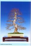Carpinus turczanovii (60cm)