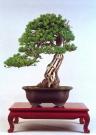 Pinus pentaphylla (70cm)