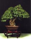 Myrtus communis - Juan Salvador Camarasa Carrasco (Espanha)