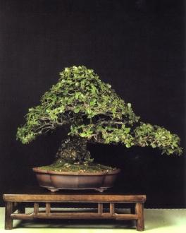 MELHOR BONSAI - Menção especial Quercus ilex - Raymon Moonilall (Espanha)