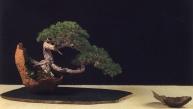 MELHOR APRESENTAÇÃO Pinus sylvestris Luis Vallejo (Espanha)