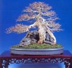 Acer burgerianum (54cm)
