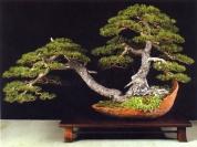 MELHOR BONSAI - Menção especial Pinus sylvestris - Luis Vallejo (Espanha)