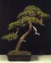 Pinus sylvestris - Felipe Recio Moreno (Espanha)