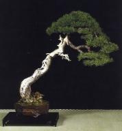 MELHOR BONSAI - Menção especial Pinus uncinata - Laurent Darrieux (França)