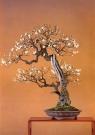 Prunus mume (54cm)