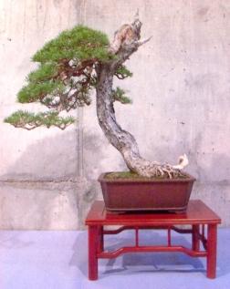 Xavier Massanet - Pinus sylvestris