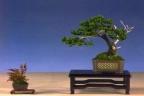 Jean Paul Polmanus - Moyogi Picea glehnii 21cm