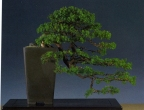 Ed e Groot - Juniperus rigida cemara - Han Kengai 45cm