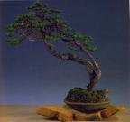 Gerhard Vorderwulbecke - Pinus uncinata - Bunjin/Soju