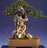 1˚prêmio (tamanho grande) - Angel Mota - Olea europea Moyogi 68cm