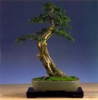 Tony Tickie - Cratageus - Moyogi 36 cm (Inglaterra)