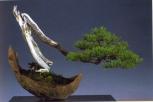 Pius Notter - Pinus mugo - Han Kengai - 60cm