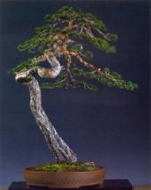 Luis Vallejo - Pinus Sylvestris - Bunjin-Gi 97cm Yamadori