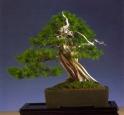 2˚lugar (tamanho médio) - Jean Paul Polmans - Juniperus rigida - Moyogi 45cm