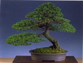 Hans Van Meer - Pinus parviflora Moyogi 86cm