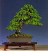 Hotsumi Terakawa - Pinus parviflora - Moyogi 50cm (fora da competição)