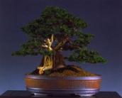 William Vlanderen - Chamaecyparis obtusa nana - Moyogi 40cm