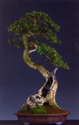 Angel Mota - Olea europea - Bunjin 75cm Espanha (maiorca) Yamadori.