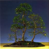 Ruud Lagas - Ulmus procera - Yose ue 74cm